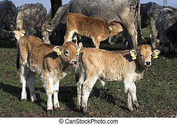 three calves- Bulgarian gray cattle,animal indigenous to...