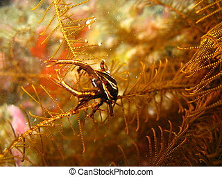 Elegant squat lobster on feather star - A macro of an...