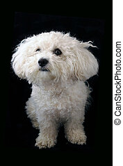 Bichon Frise Dog - A bichon frise dog photographed on a...