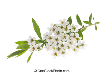 Hawthorn (Crataegus monogyna) branch with flowers isolated...