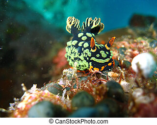 Nudibranch (Nembrotha kubaryana) This nudibranch (Nembrotha...