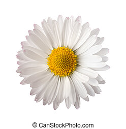 daisy - White daisy isolated on white background