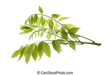 wisteria branch isolated on white