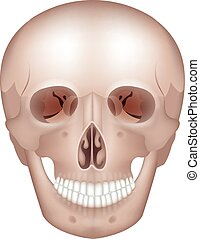 Skull - Human skull detailed anatomy frontal view, isolated...