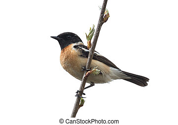 Stonechat - Male stonechat sitting on a branch isolated on...