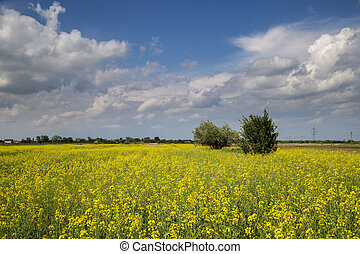 Colza field - Flowering field of colza outdoors in spring