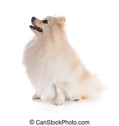 white pomeranian dog isolated on white background