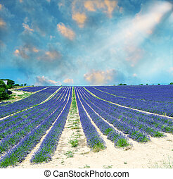 Beautiful lavender fields of Provence, France in July.