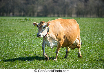 Jersey cow on grass - Jersey cattle on a green field in the...