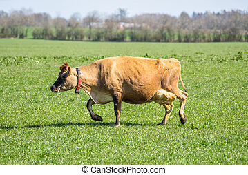 Jersey cow on green grass - Jersey cattle on green grass in...