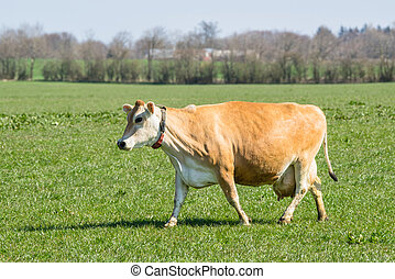 Jersey cow on a green field in the spring