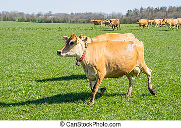 Jersey cattle running on a field - Jersey cattle running on...