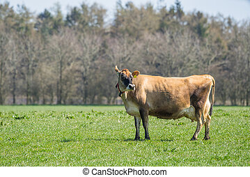 Jersey cow standing on a field - Jersey cow standing on a...