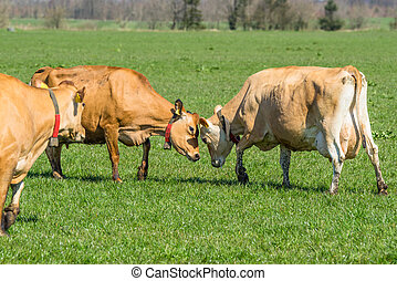 Jersey cattle on a field - Jersey cattle plays around on a...