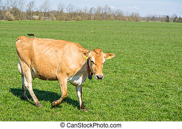 Jersey cow walking on grass - Jersey cow walking on a green...
