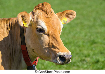 Close-up of a Jersey cow on green grass