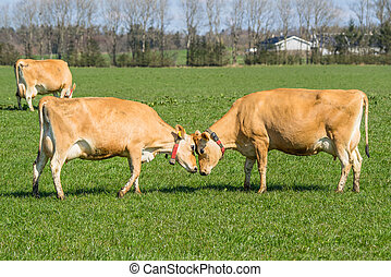 Jersey cows head to head - Jersey cattle head to head on a...