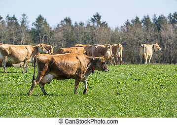 Jersey cattle on grass in the springtime - Jersey cattle on...