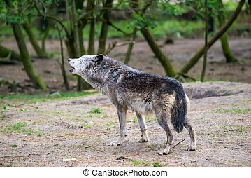 Wolf howling in nature