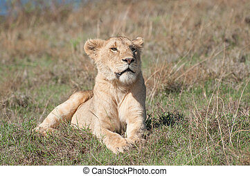 Lioness Lying Down - A lioness lies in some short grass on a...