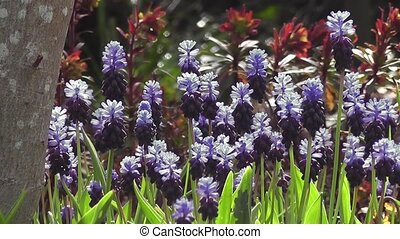 Spring Muscari Bluebell Flowers