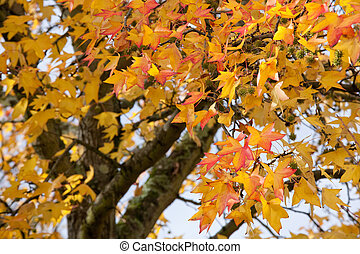 autumn tree - colorful autumn leaves on liquidambar tree