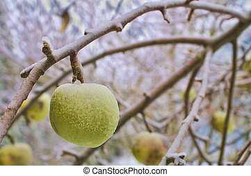 Frosty Apple Dangling from Tree Branch. - Green Apple with...