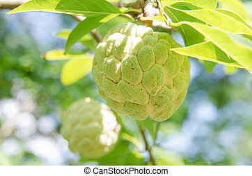 Custard apples fruit - Custard apples or Sugar apples or...