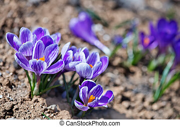 Crocus in spring garden, flowers in the garden