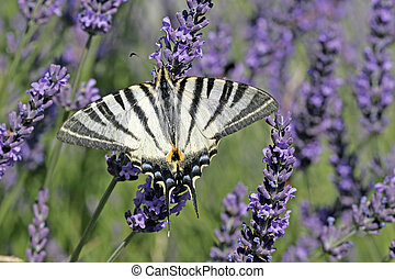 Scarce Swallowtail on Lavender Bloom, (Iphiclides...