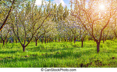 Colorfu spring morning in the blossom apples garden