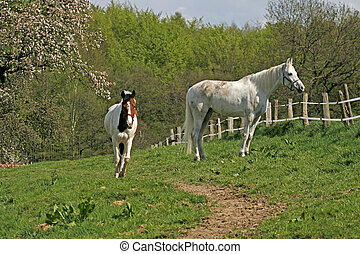 Arabian horses in Georgsmarienhuette, Lower Saxony, Germany,...