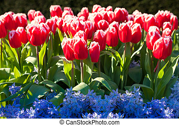 Marvellous red tulips and blue hyacinth in the Keukenhof...