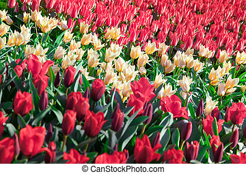 Marvellous red and white tulips in the Keukenhof park, used...