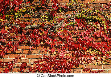 House with wine Parthenocissus in autumn,...