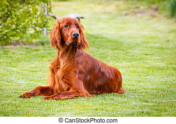 Irish Setter - Obedient nice irish setter laying and waiting