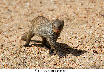 Banded mongoose baby walk alone over sand - Banded mongoose...