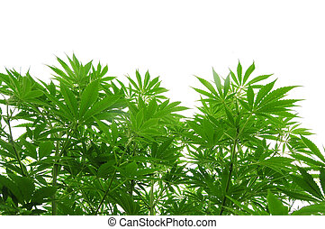 Cannabis plant - Photo of cannabis plant at vegetative stage