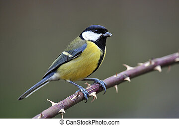 Great tit standing on a twig full of thorns