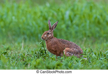 Brown hare - Photo of brown hare sitting in a grass and...