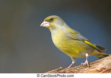 Greenfinch - Photo of greenfinch standing on stump