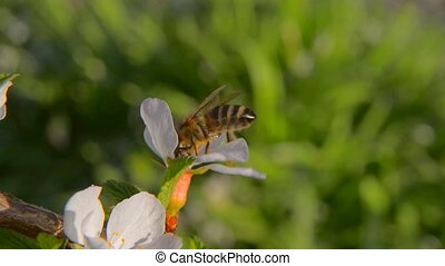 Bee pollinating flowering trees - Felt cherry The bee...