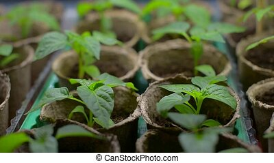 Seedlings in peat pots - Small young shoots of pepper grown...