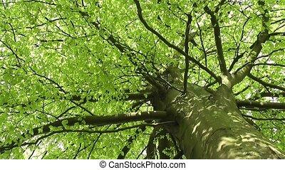 Fresh Spring Leaves Rustling Wind
