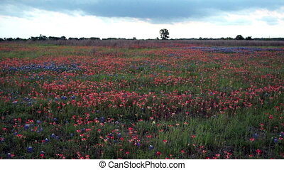 Texas Wildflowers Springtime - Flowers grow in the...