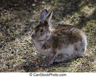 Snowshoe hare (Lepus Americanus) - A snowshoe hare as his...