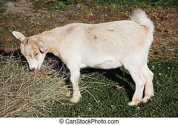Pygmy goat feeding - A young pygmy goat enjoys its evening...