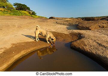 Brown dog eat water