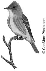 Olive-sided Flycatcher Contopus cooperi