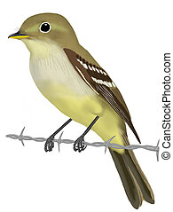 Yellow-bellied Flycatcher Empidonax flaviventris